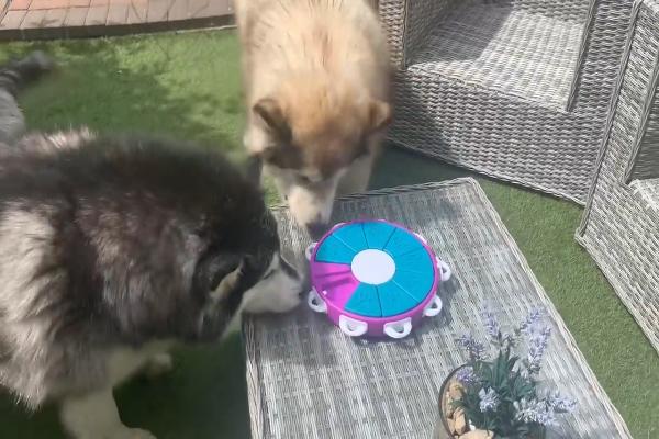 Due splendidi cani giocano con un giocattolo davvero molto carino (VIDEO)