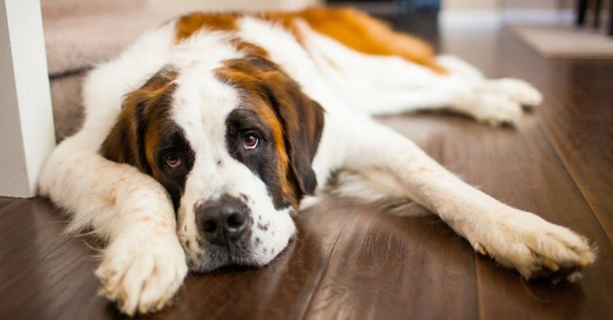 cane di razza san bernardo