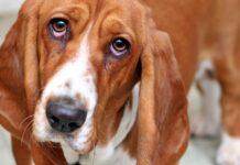 cane con gli occhi arrossati