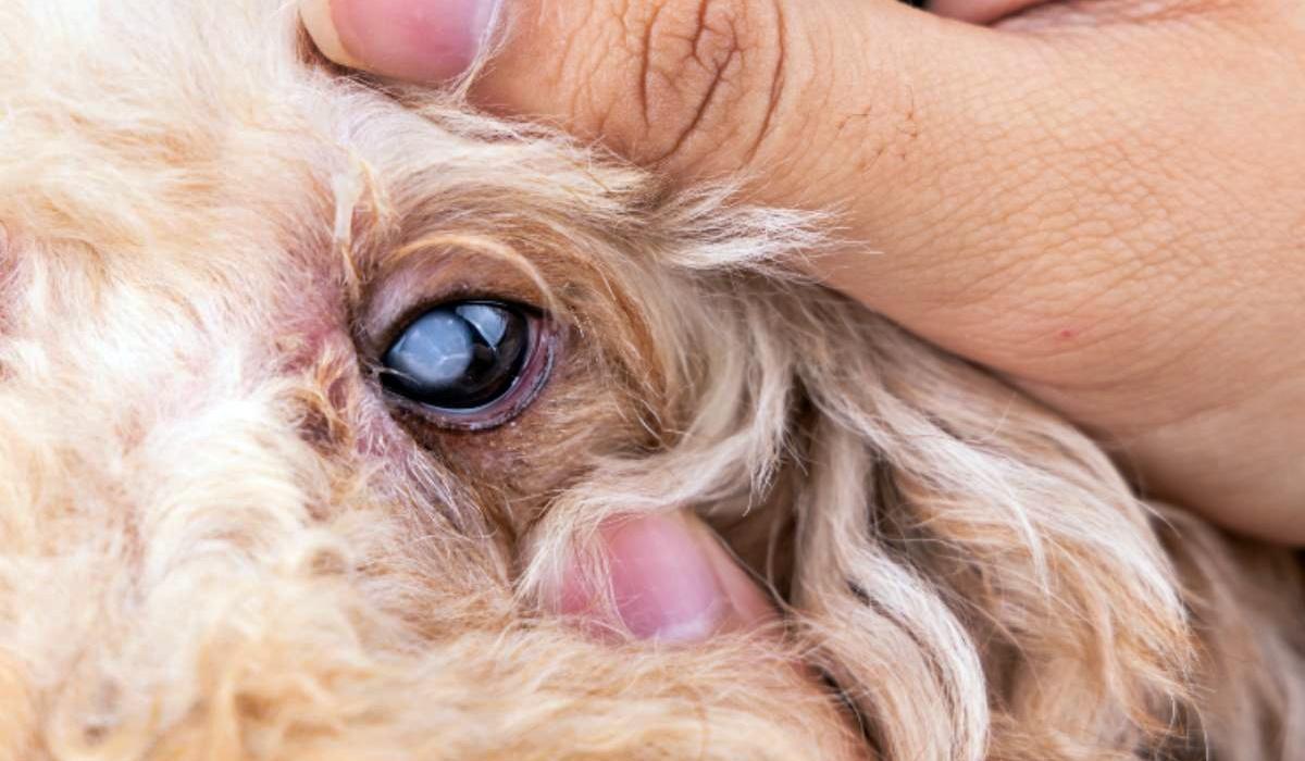 controllare gli occhi del cane