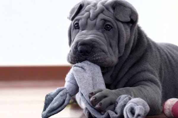 Cuccioli di Shar Pei: dal carattere all'allevamento, ecco cosa sapere