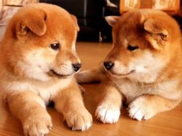cuccioli di Shiba Inu