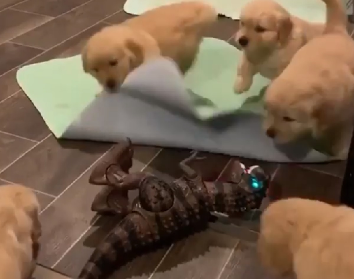 Cuccioli di Golden Retriever giocano con un T-Rex in miniatura (VIDEO)
