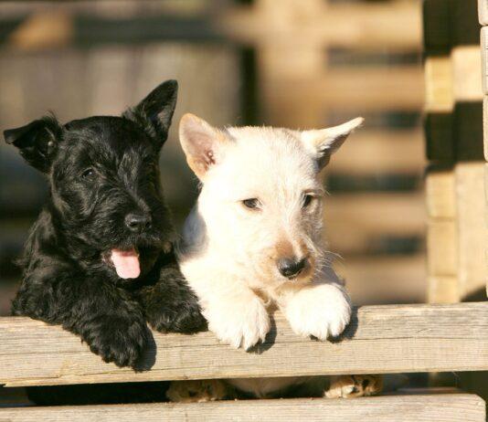 cuccioli di scottish terrier