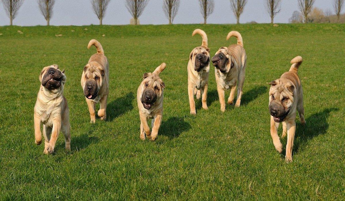 Cuccioli di Shar Pei, come sceglierli: tutti i consigli e le dritte più utili