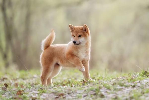 Cuccioli di Shiba Inu: dal carattere all'allevamento, ecco cosa sapere