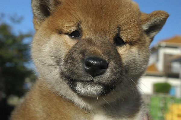 Cuccioli di Shiba Inu, come sceglierli: tutti i consigli e le dritte più utili
