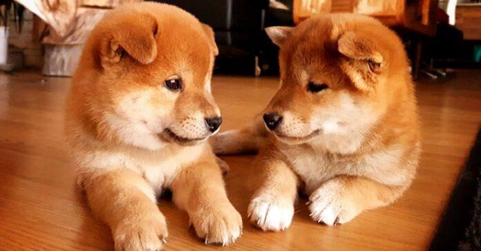 due cagnolini su un tavolo