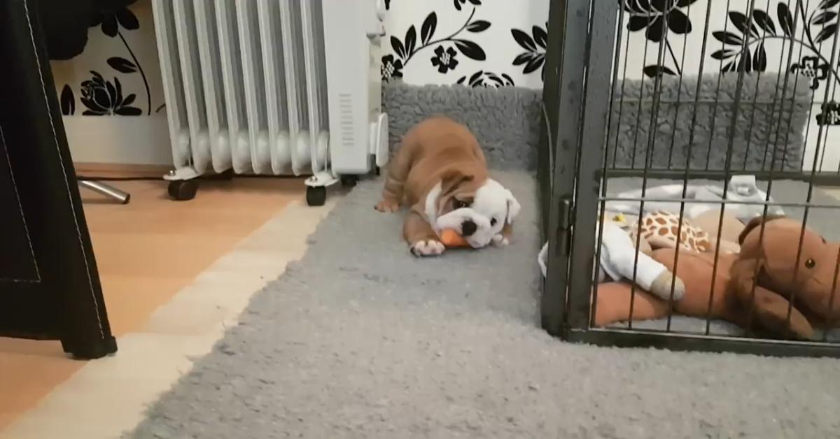 Cucciolo di Bulldog gioca da solo con una carota (VIDEO)