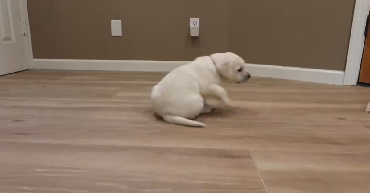 Un cucciolo di Labrador impara a correre in casa (VIDEO)