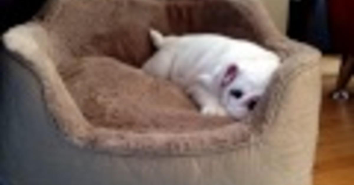 Cucciolo di Bulldog gioca da solo sulla sua cuccia nuova: è tenerissimo (VIDEO)