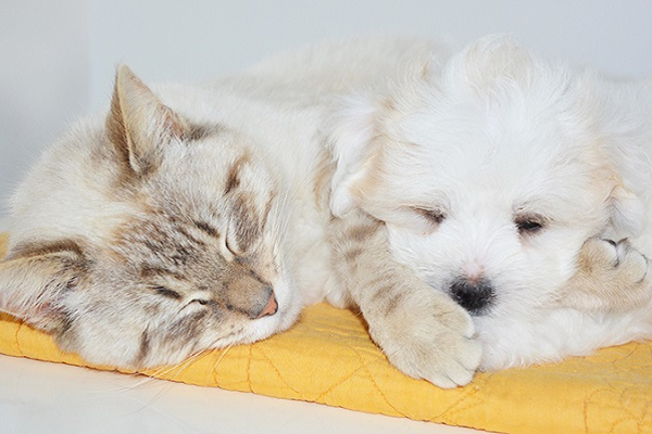 gatto dorme accanto a cagnolino bianco