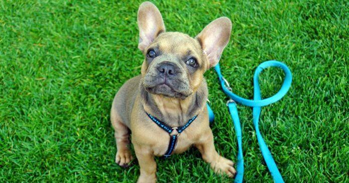 bulldog francese al guinzaglio