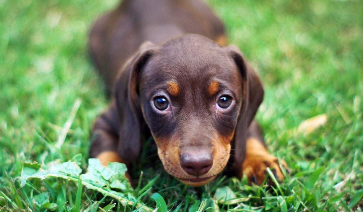 Cucciolo di cane, quando può iniziare a fare passeggiate?