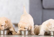 tre cuccioli mangiano da ciotola