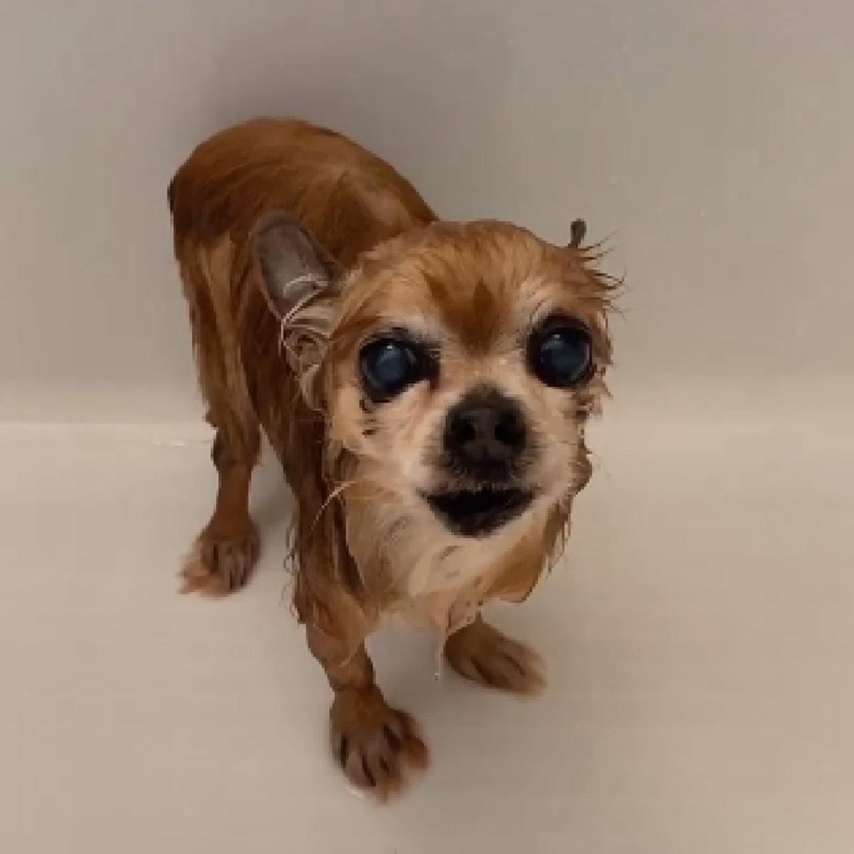 Cucciolo di chihuahua non approva il bagnetto (VIDEO)