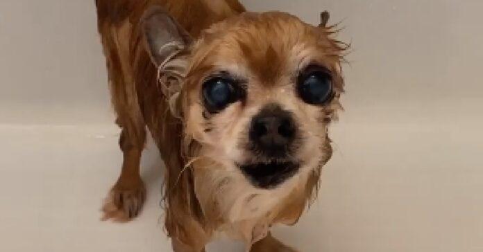 cucciolo chihuahua non approva il bagnetto
