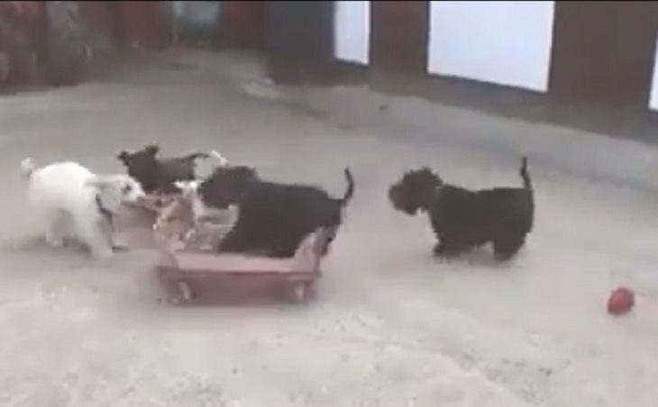 cagnolini giocattolo nuovo video famoso