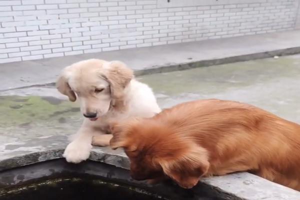 Due Golden Retriever sono innamorati dei pesciolini (VIDEO)