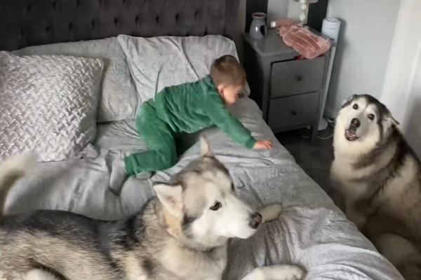 Due cagnoloni svegliano il loro fratellino umano in modo molto dolce (VIDEO)