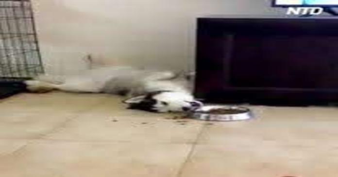cane mangia sdraiato