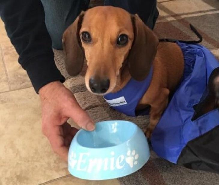 Ernie, il bassotto sconfigge una rara malattia e torna a camminare (VIDEO)