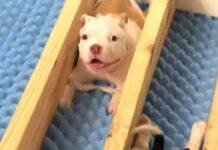 gabriel cucciolo pitbull supera ogni difficoltà vita