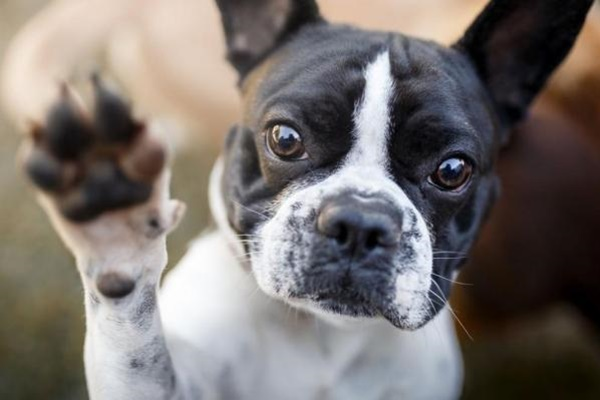 boston terrier che alza una zampa