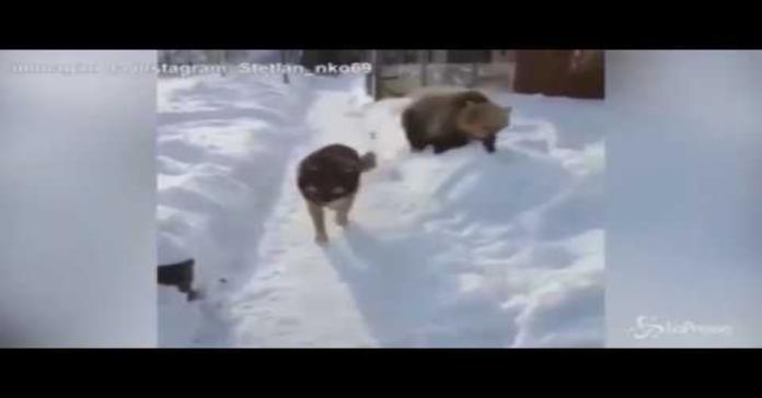 orso giocherellone infastidisce cane