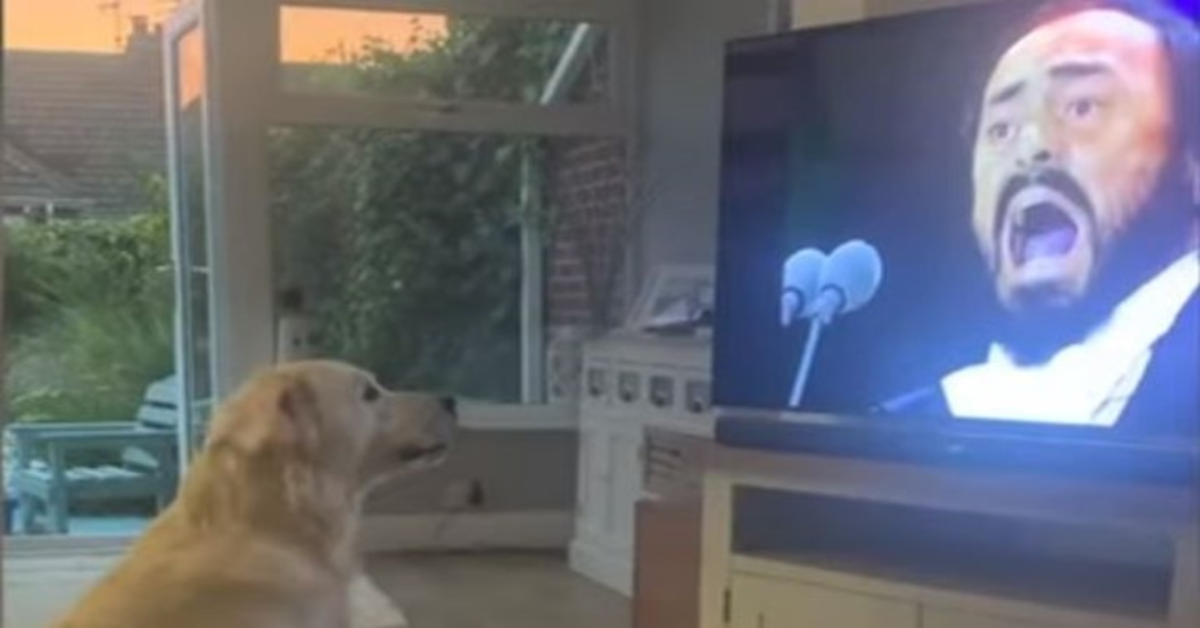 Il Golden Retriever Hugo ama l'Opera lirica e canta con Pavarotti (video)