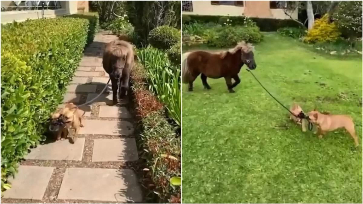 I Bulldog francesi Nacho e Lola portano a spasso un pony (VIDEO)