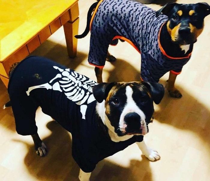 I Pitbull Lilly e Max si divertono a rubare la zucca della proprietaria (FOTO)