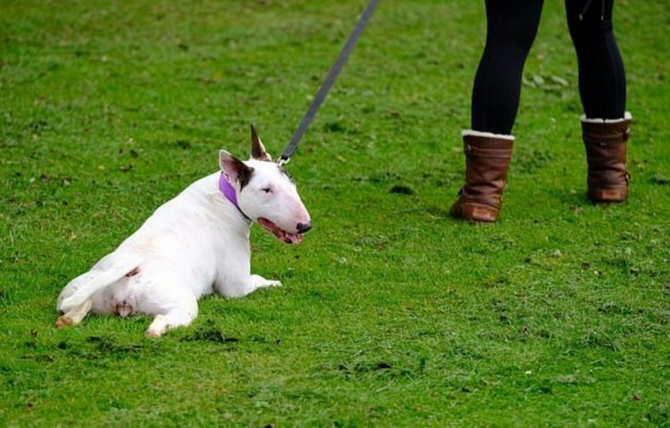 Il bull terrier Fidget si finge malato perché ha troppa voglia di camminare (VIDEO)
