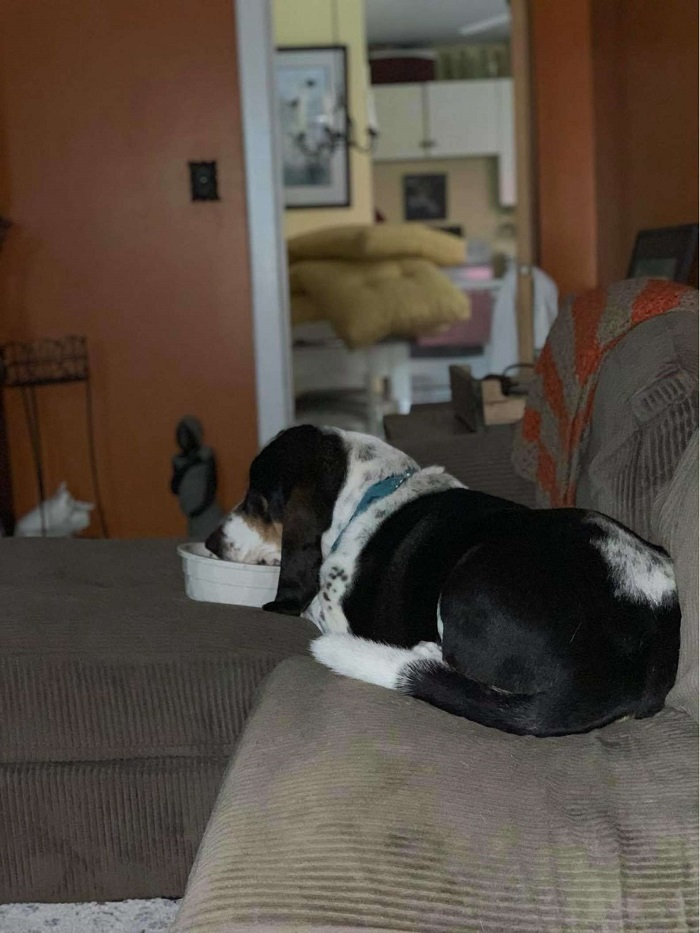 Il cagnolino Murphy ama mangiare sul divano come gli umani (VIDEO)