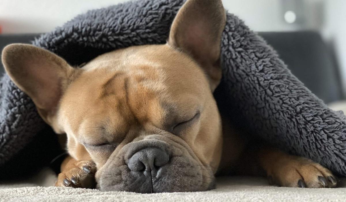 bulldog che dorme sotto una coperta