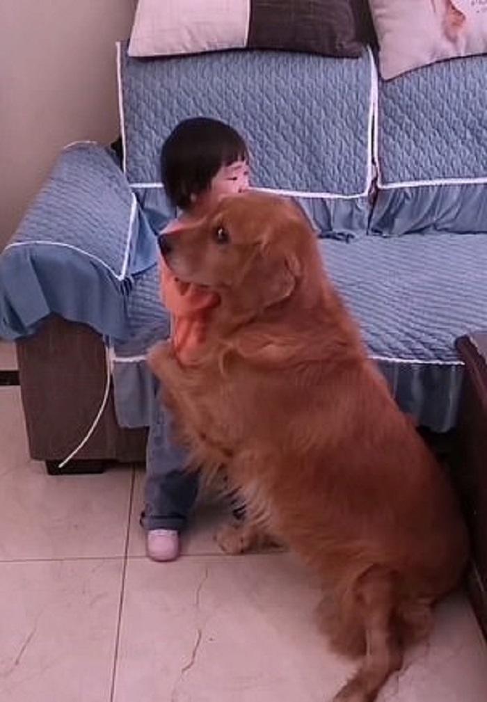 Il golden retriever Harry protegge la sua sorellina da qualsiasi cosa (VIDEO)