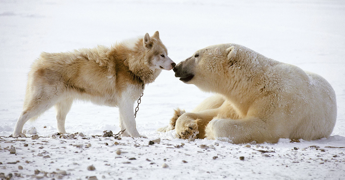 Cani da slitta e orsi polari giocano insieme (VIDEO)