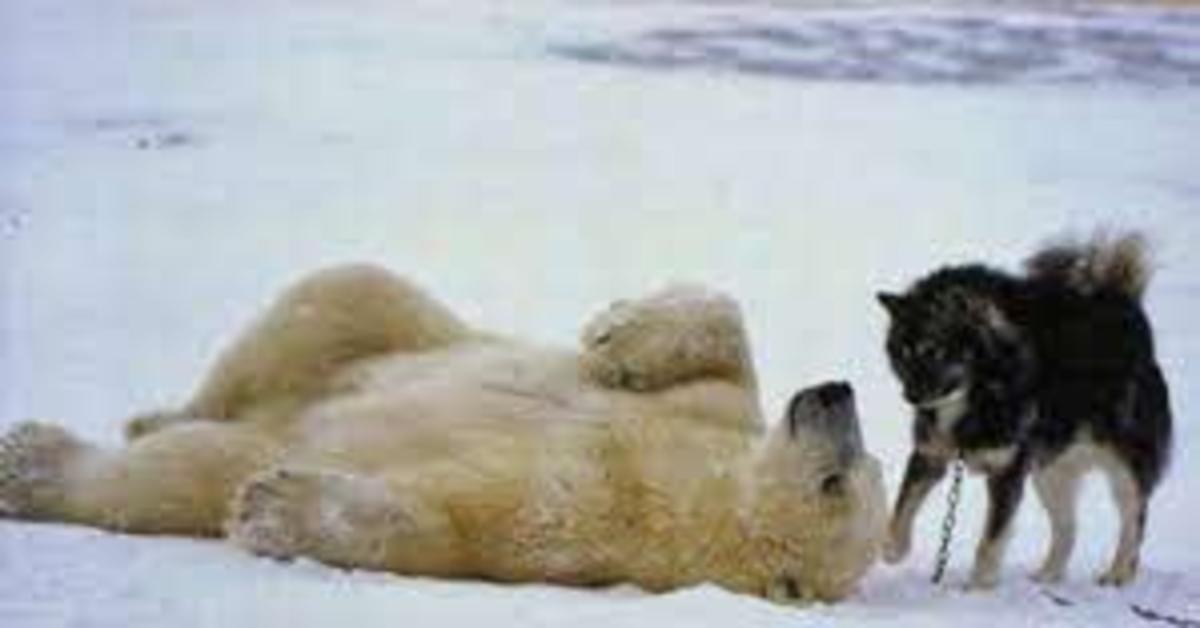 orso polare sdraiato gioca con husky