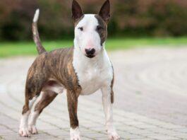 bull terrier marrone e bianco