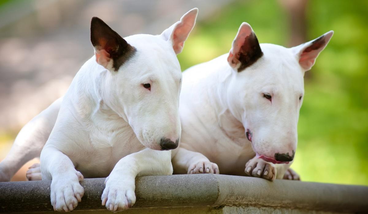 cani di colore bianco