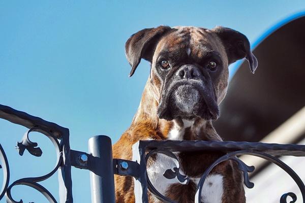 Insegnare al cane a rifiutare un'esca avvelenata: come fare, passo per passo