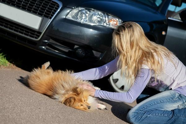 aiutare un cane investito da un'auto