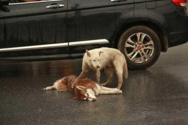 cane che consola l'amico ferito
