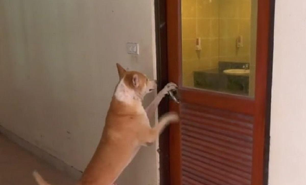 Joey, il cagnolino guardiano in grado di aprire le porte da solo (VIDEO)
