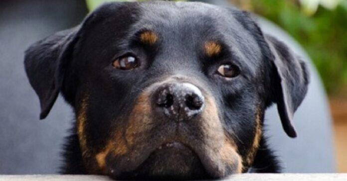 joey cucciolo guardia