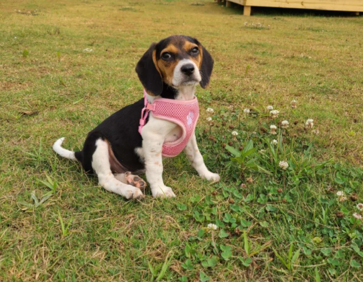 mia cagnolina beagle intelligente