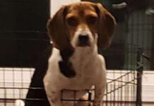 cucciola di beagle mia tenta la fuga quando mamma non c'è