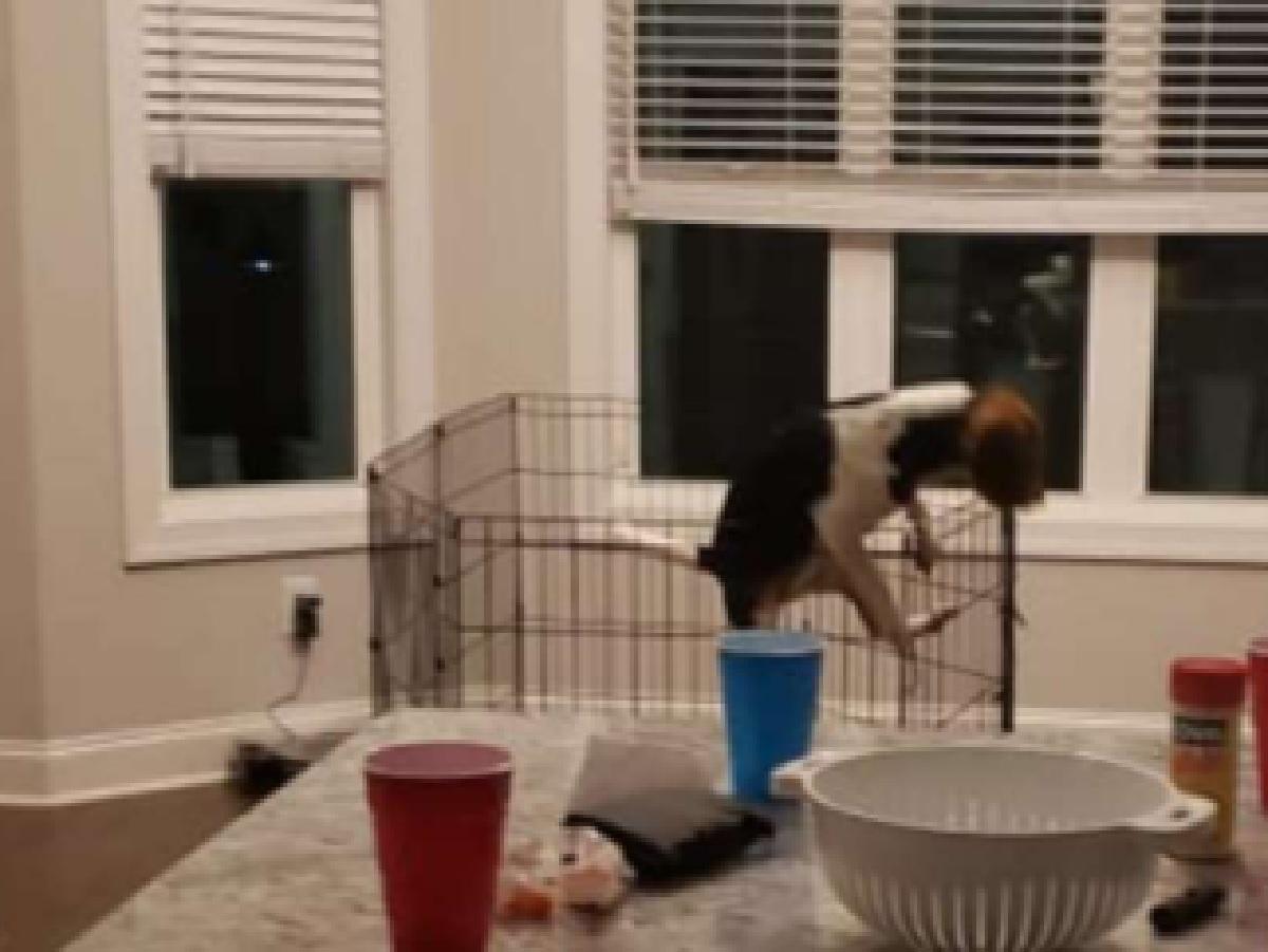 La cucciola di Beagle Mia tenta la fuga quando mamma non c'è (FOTO)