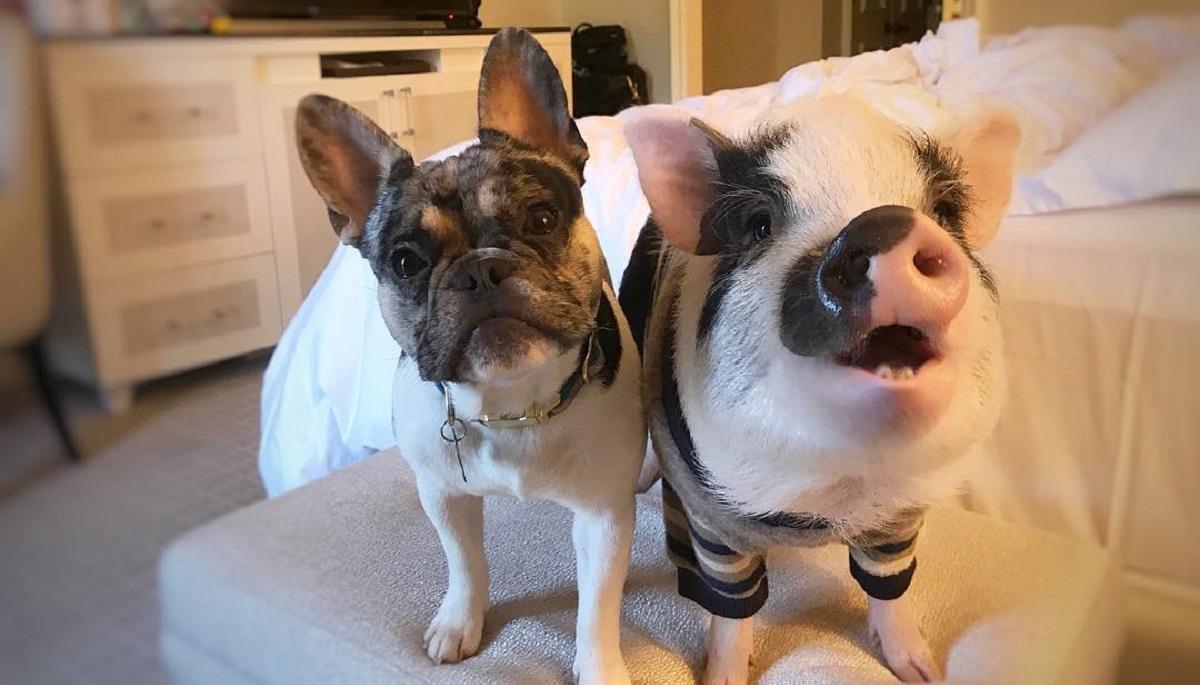 La storia di Dill e Pickles, il Bulldog e il maialino che sono diventati migliori amici (VIDEO)