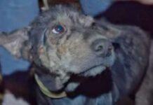lada cagnolina tenuta prigioniera cortile viene salvata